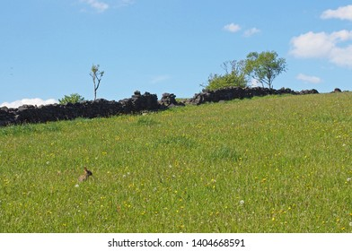 a bright green grass meadow with a rabbit with spring flowers on a hillside with crumbling old stone wall trees and blue sunny sky