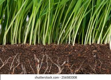 Bright green grass with roots in the organic soil. Focus on the roots