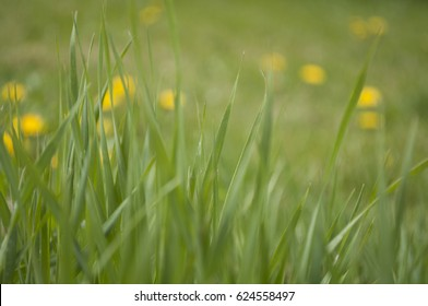 Bright green grass and some dandelions on background. Sunny spring day. Close-up.