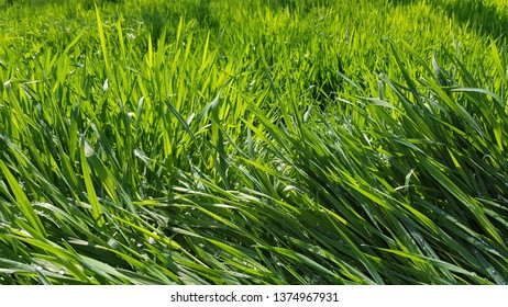 Bright green grass texture with water drops after rain. Fresh wet grass at sunlight on the meadow. Natural plants background. Spring growth backdrop. Summer herbs texture. Countryside nature