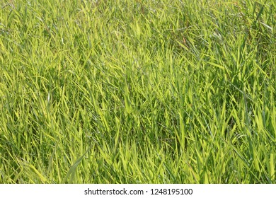 Bright green grasses grow in northern Illinois
