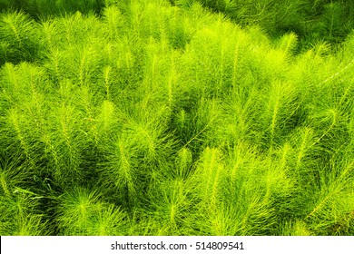 Bright green horsetail background