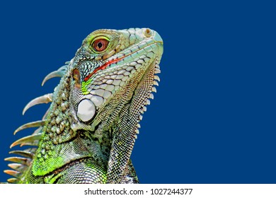 Bright green iguana head profile with blue sky background. Close-up view on the tropical lizard's head. Portrait of a small wild animal that looks like a dragon.