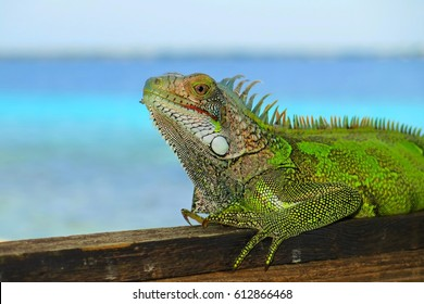Bright green Iguana, lizard sitting on the wooden porch. Azure tropical calm sea in the background, sunny day, tranquil scenic view.