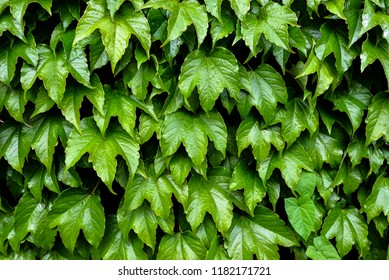 Bright Green ivy natural background. Ivy leaves on the wall. Natural background. Mock up.