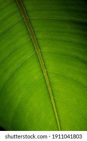 bright green large leaf of ficus
