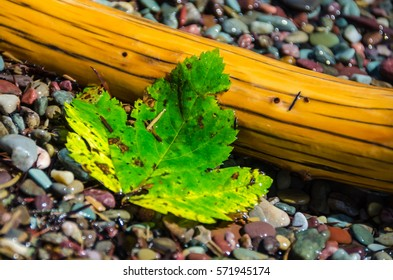 Bright green leaf laying on colorful pebbles & drift wood on the shore of Waterton Lake at Waterton Lakes National Park in Alberta, Canada