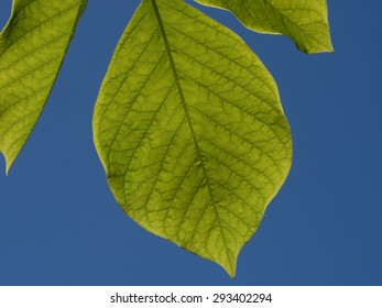 Bright green leaf of yellowwood tree backlit by sunlight, against an intense blue sky