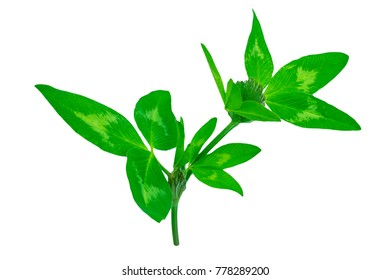 bright green leaves of a clover clover with a small bud isolated on white background, ready for processing