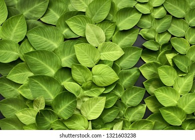 Bright green leaves of creeper plants on the dark wall. Closeup horizontal photo.