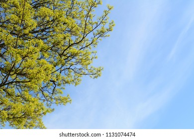 Bright green leaves of lime trees against a blue sky with copy space