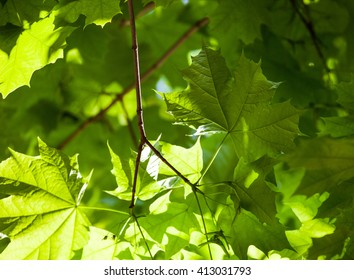 Bright green leaves of the maple tree in the sunshine.