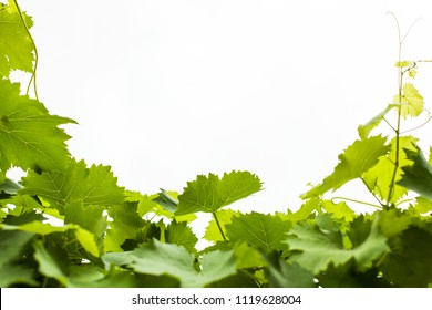 bright green leaves of young grapes against the sky form a frame
