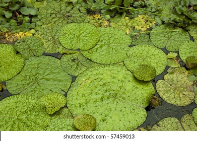 Bright green lily pads in a pond, usually inhabited by frogs