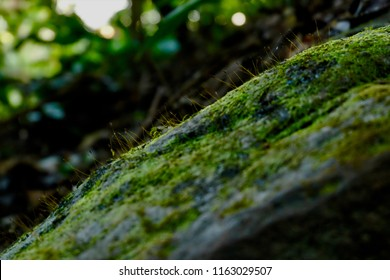 Bright green moss Background textured in nature. Natural moss on stones in winter forest Moss covered stone. Beautiful moss and lichen covered stone. Selective focus