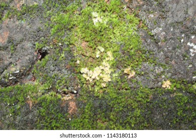 Bright Green moss on a gray brick wall. Background brick wall, Moss texture. Moss background. Green moss on grunge texture, background