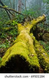Bright Green Moss on tree trunks (Doi Inthanon National Park), Thailand