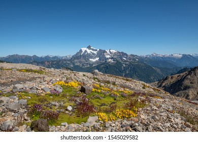 Bright green moss with yellow and purple flowers beside Mount Baker's Ptarmigan Ridge trail.  In the distance, Mount Shuksan sits proudly above the North Cascades range. Ample blue sky for copy space