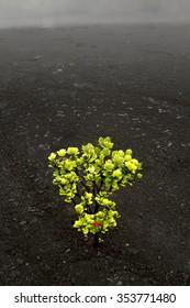 bright green ohia bush alone in volcano with black soil