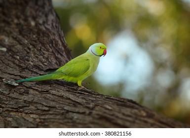 Bright green parrot, Rose-ringed Parakeet, Psittacula krameri perched on old tree trunk against blurred forest background. Sri Lanka.