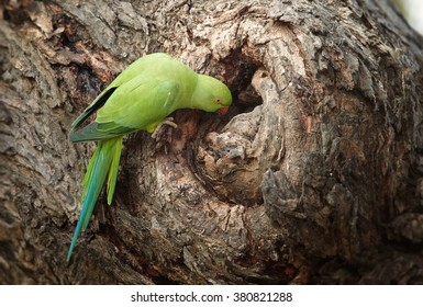 Bright green parrot, Rose-ringed Parakeet, Psittacula krameri next to nest hole in old tree trunk. Sri Lanka.