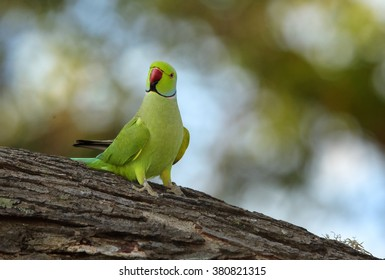 Bright green parrot, Rose-ringed Parakeet, Psittacula krameri perched on old tree trunk against blurred forest background with nice bokeh effect. Sri Lanka.