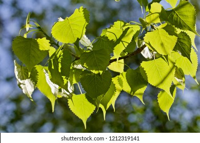 Bright green poplar leaves show in the sunlight.