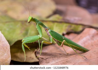 Bright Green Preying Mantis Mantid Mantises Mantidae Mantodea on dead autumn brown leaves in the jungles of Thailand, macro micro close up