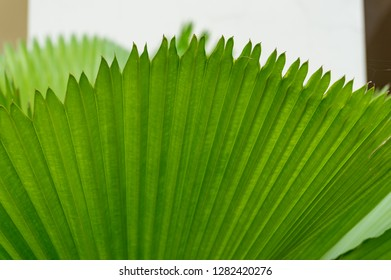 Bright green ruffled fan palm leaves texture nature background