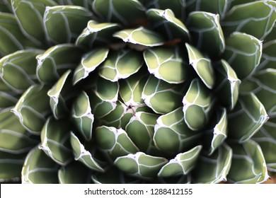A bright green succulent opening upward and spiraling outward. Austin, TX