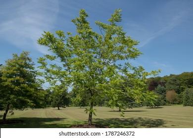 Bright Green Summer Foliage of an American or Black Walnut Tree (Juglans nigra) Growing in a Woodland Garden in Rural Devon, England, UK