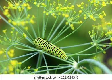 A bright green swallowtail caterpillar with orange dots. The caterpillar of the rare sailfish butterfly Papilio machaon is listed in the Red Book.