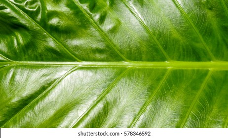 Bright green tropical plant leaf texture with the lights,Vein detail