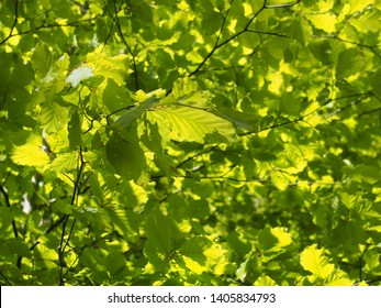 bright green vibrant sunlit spring leafy tree background