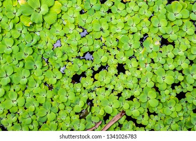 Bright green Water Lettuce (Pistia stratiotes) in outdoor lake