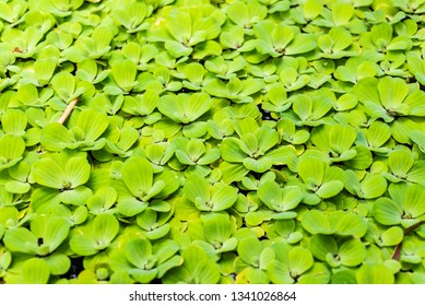 Bright green Water Lettuce (Pistia stratiotes) in water pool