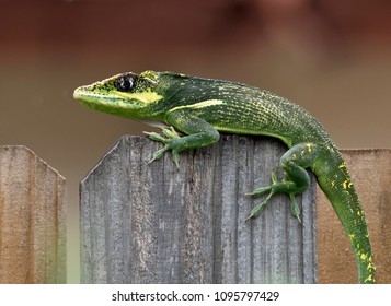 Bright green and yellow Cuban knight anole lizard with black eye patch is crossing the top of a wooden fence against a blurred brown background.