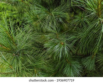 bright green young pine branches with needles. Pine.
