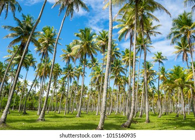 Bright grove of tall palm trees in a plantation on the Coconut Coast in Nordeste Bahia, Brasil
