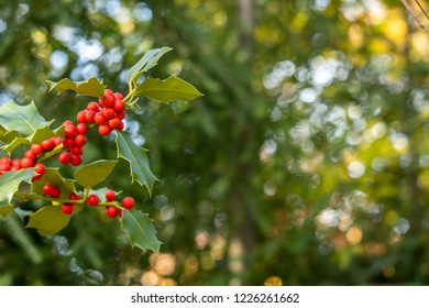 bright holly background in a natural scenery. with copy space left for text and images