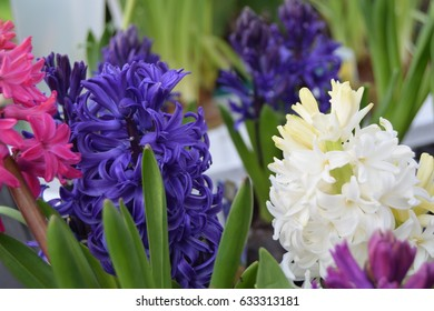 Bright hyacinths in pot