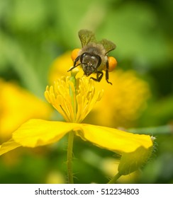 Bright image of bee with pollen under yellow celandine