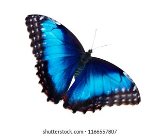 Bright iridescent female blue morpho butterfly, Morpho peleides, is isolated on white background with wings wide open.