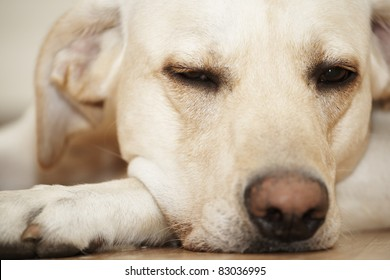 Bright labrador is dreaming and lies on floor.