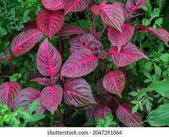 Bright leaves of Herbsts bloodleaf, Iresine herbstii - Shutterstock ID 2047291064