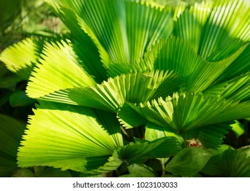 Bright leaves of Licuala grandis or the Ruffled Fan Palm in green tropical garden