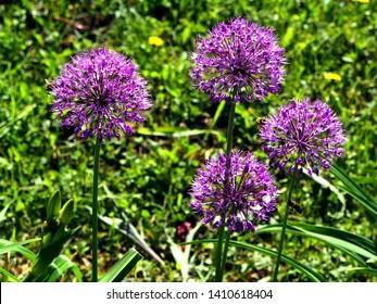 bright lilac blooming aflatuni onion Latin name Allium aflatunense