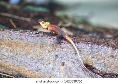 A bright lizard basks on a tree trunk. Maldives.