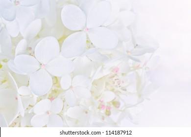 Bright luminous white Hydrangea flowers in closeup