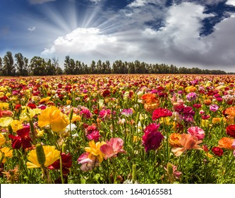 Bright lush spring blooming of garden buttercups. The soft sun is breaking through the cumulus clouds. Concept of active and ecological tourism